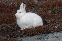 Arctic Hare (33)