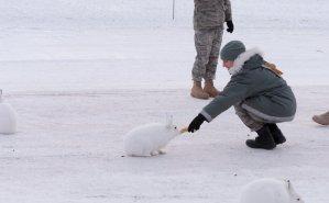 Arctic Hare (5)