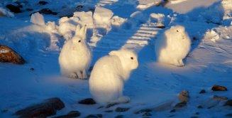 Arctic Hare (6)