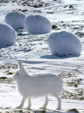 Arctic Hare (7)