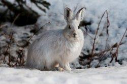 Arctic Hare (8)