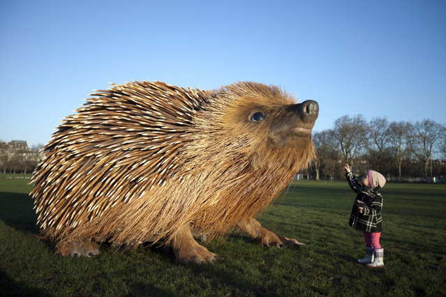 "What's Up : Say ""Hi"" to this World's biggest Hedgehog :)"