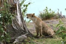 lion baboon