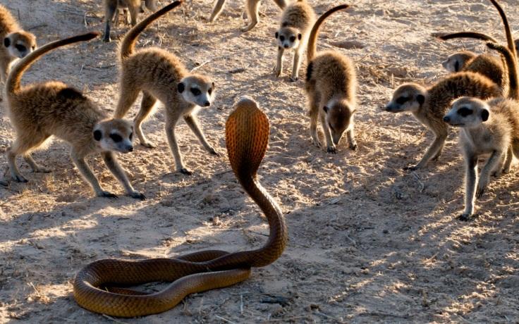 meerkat and snake