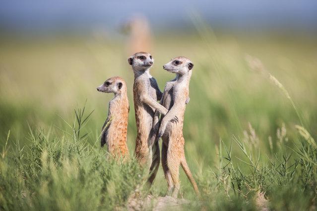 Meerkats (1)