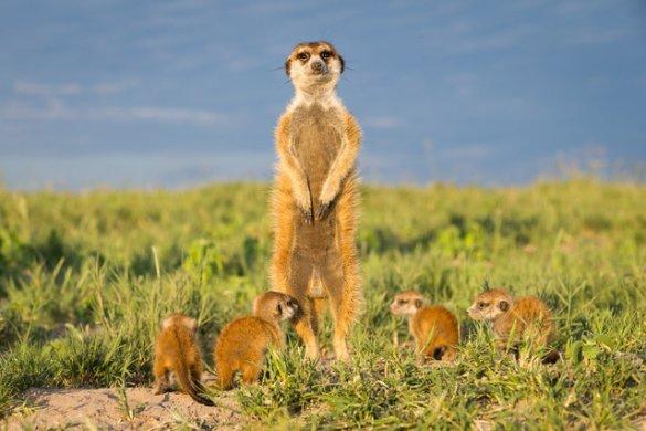 Meerkats (5)