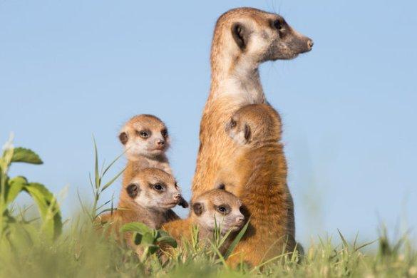 Meerkats (6)