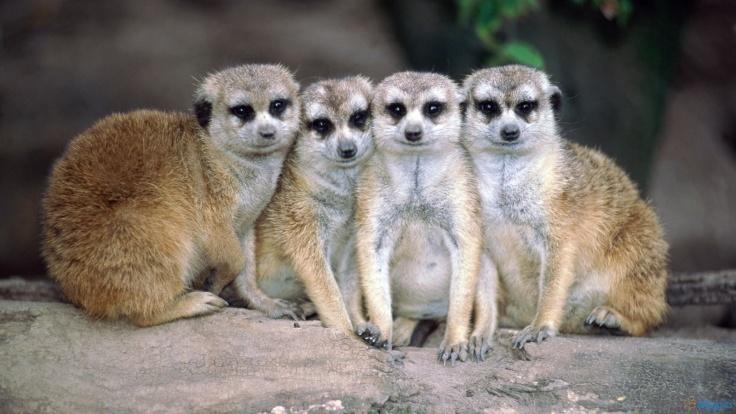 Meerkats3