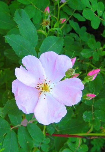 Rosa acicularis (prickly wild rose)