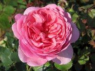 Rosa alexandrae