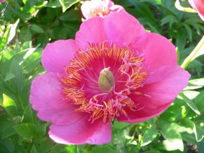 Rosa anemoniflora