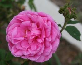 Rosa centifolia cristata - Crested Moss