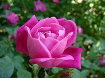 Rosa chinensis