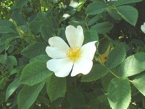 Rosa dumetorum