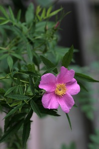 Rosa foliolosa