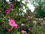 Rosa forrestiana