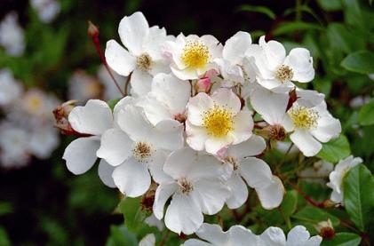 Rosa gentiliana