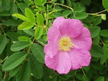 Rosa giraldii
