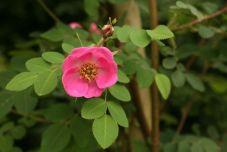 Rosa holodonta