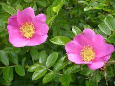 Rosa kochiana