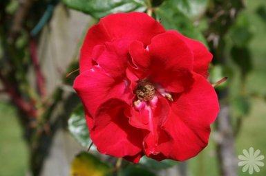 Rosa kordesii