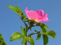Rosa mollis
