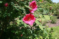 Rosa moyesi