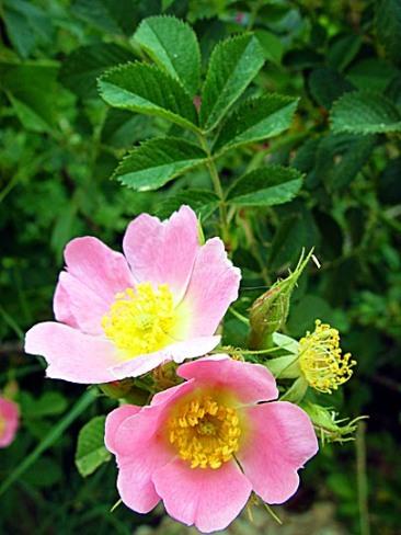 Rosa phoenicia