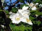 Rosa sericea