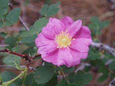 Rosa spithamea