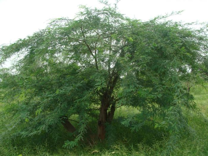 Prosopis juliflora2