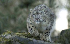 Snow Leopard4