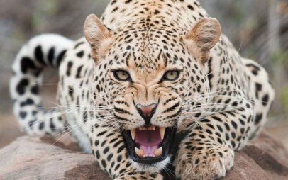 Snow Leopard6