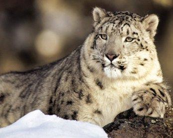Snow Leopard7