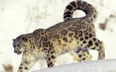 Snow Leopard8