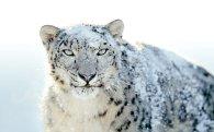 Snow Leopard9