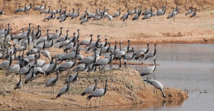 A_group_of_Demoisille_cranes