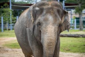 Mighty Raju Elephant