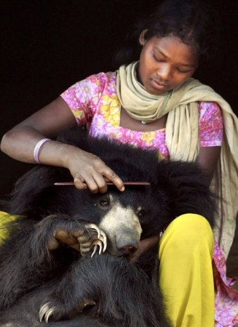 Sloth Bear (1)