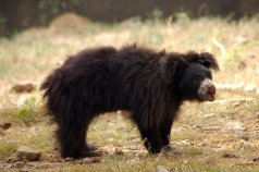 Sloth Bear (3)