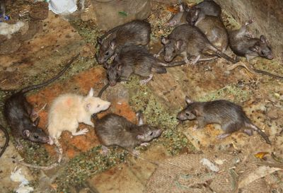 White Rat KArni Mata Temple