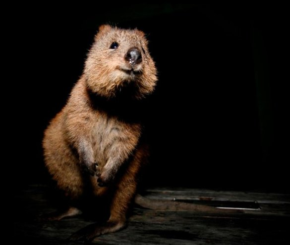 earth our home too quokka the happiest animal propel steps