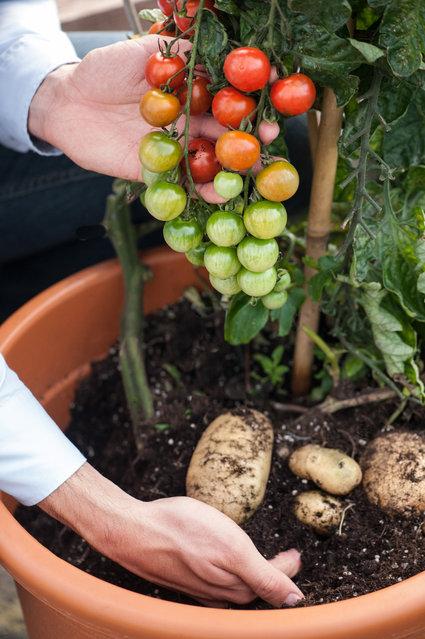 Know : TomTato – Tomato and Potato on the same plant