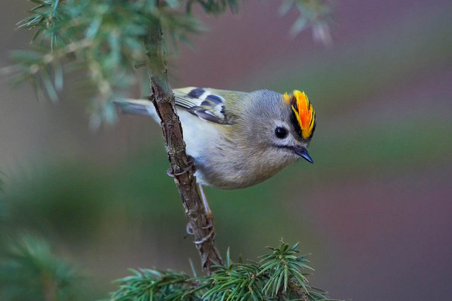 Golden_Crowned Kinglet (1)