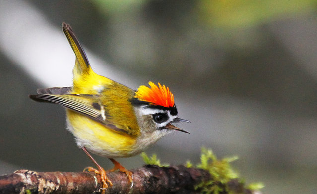 Earth Our Home Too : Golden Crowned Kinglet