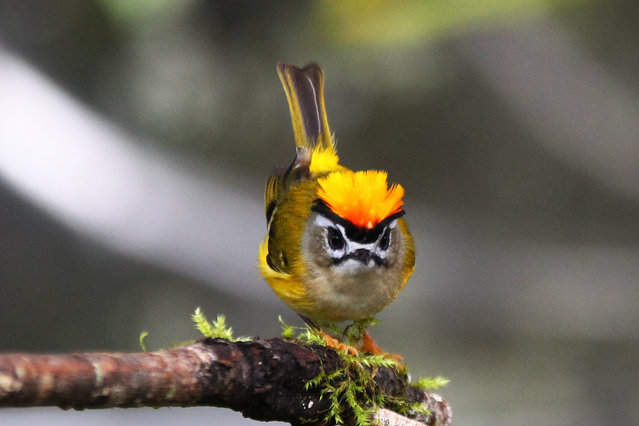 Golden_Crowned Kinglet (3)