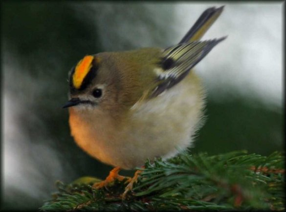 Golden_Crowned Kinglet (4)