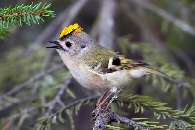 Golden_Crowned Kinglet (5)