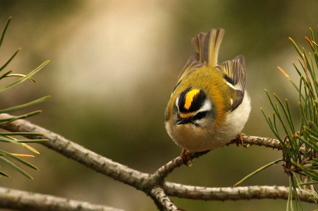 Golden_Crowned Kinglet (6)