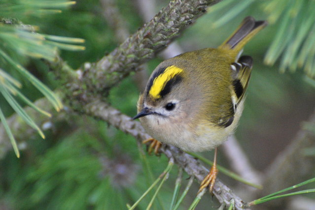 Golden_Crowned Kinglet (7)